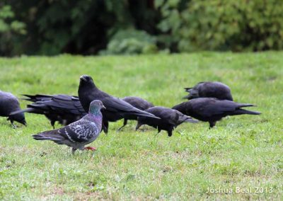 Pigeon strutting in front of crows