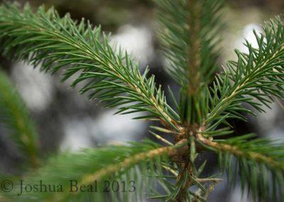 Young douglas fir tree