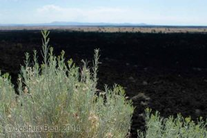 Bush over dry lava bed