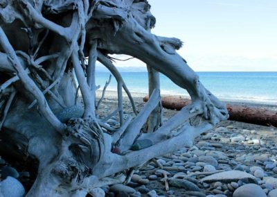 Drift wood root system on a rocky beach