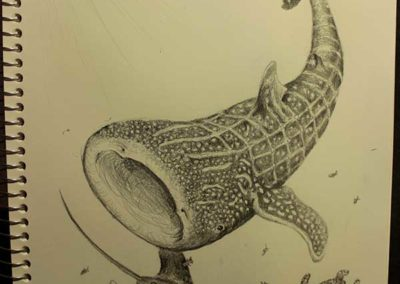 Sketch of a whale shark, manta ray, and turtle