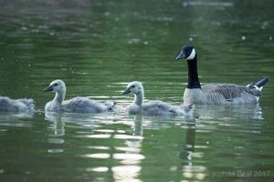 Mother swan with babies crossing a pond