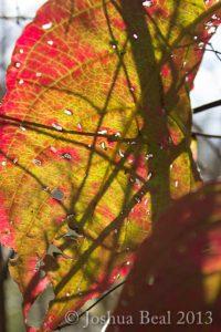 Shadows through an Autumn leaf