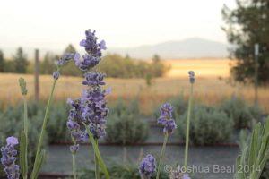 Autumn lavender