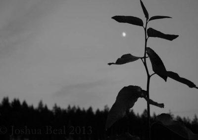 Sapling and moon