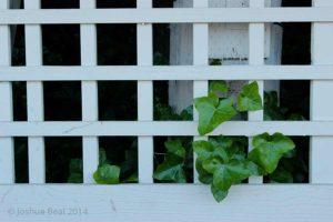 Ivy through lattice